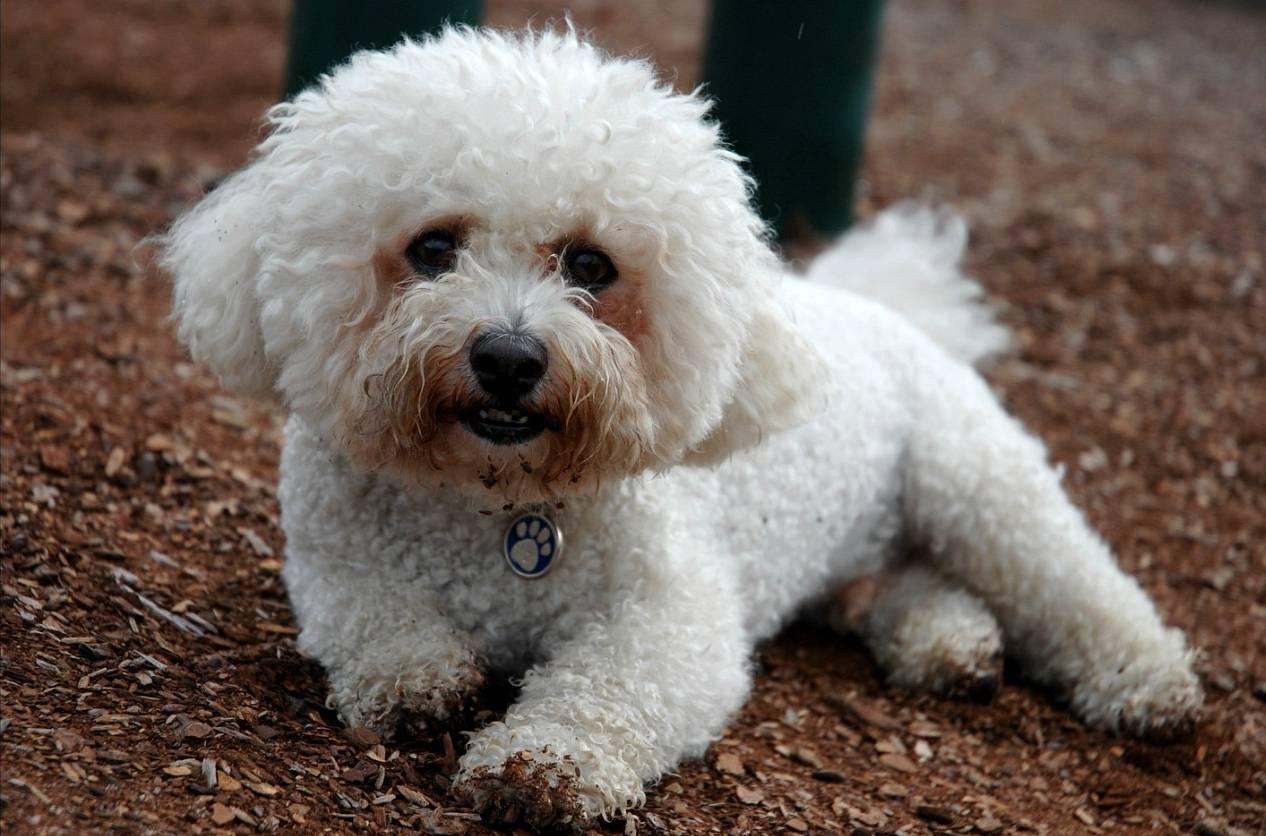 Гипоаллергенные собаки: породы, не вызывающие аллергию у людей