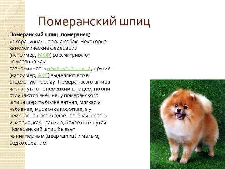 Собака белый немецкий карликовый шпиц * характеристика породы и сколько живет