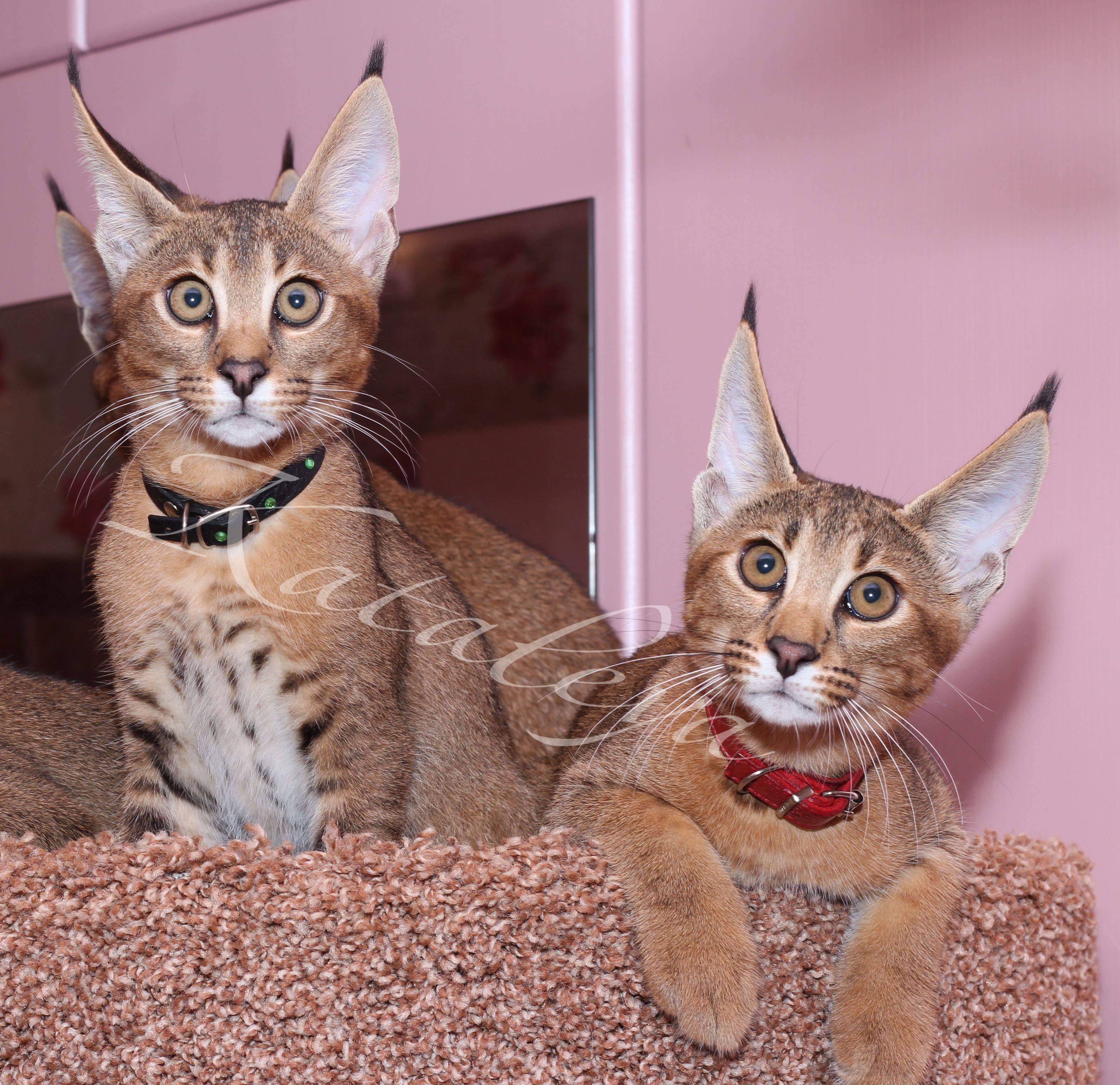 Корат: фото кошки, цена, описание породы, характер, видео, питомники