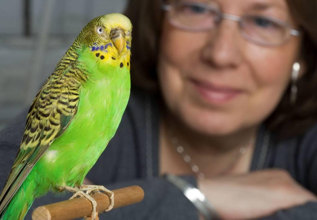 Как научить попугая говорить (волнистого, корелла, жако, ара)