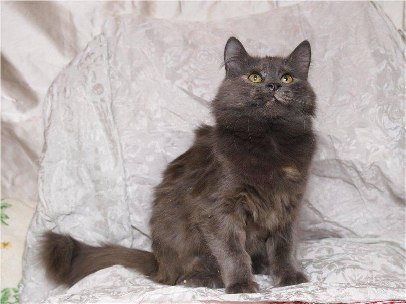 Описание породы кошек нибелунг: история породы и правила содержания котов