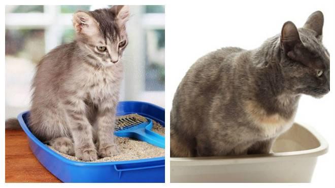 Запор у кошки или кота: симптомы и лечение в домашних условиях