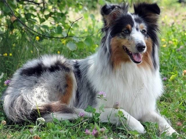 Шелти: описание породы, характер собаки и щенка, фото, цена