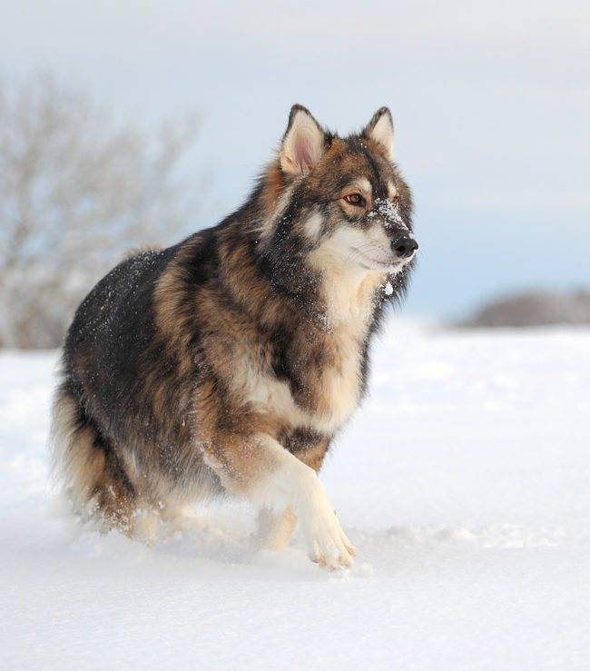 Что такое метисы у собак: описание красивых помесей разных пород питомцев