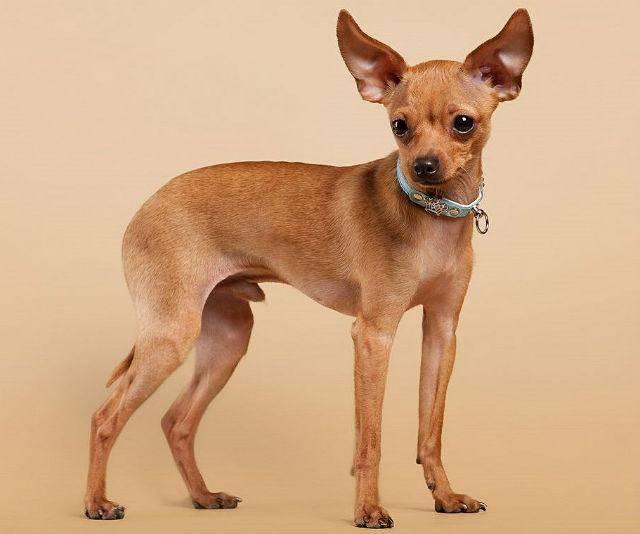 Все породы маленьких собак с фотографиями и названиями, полный список