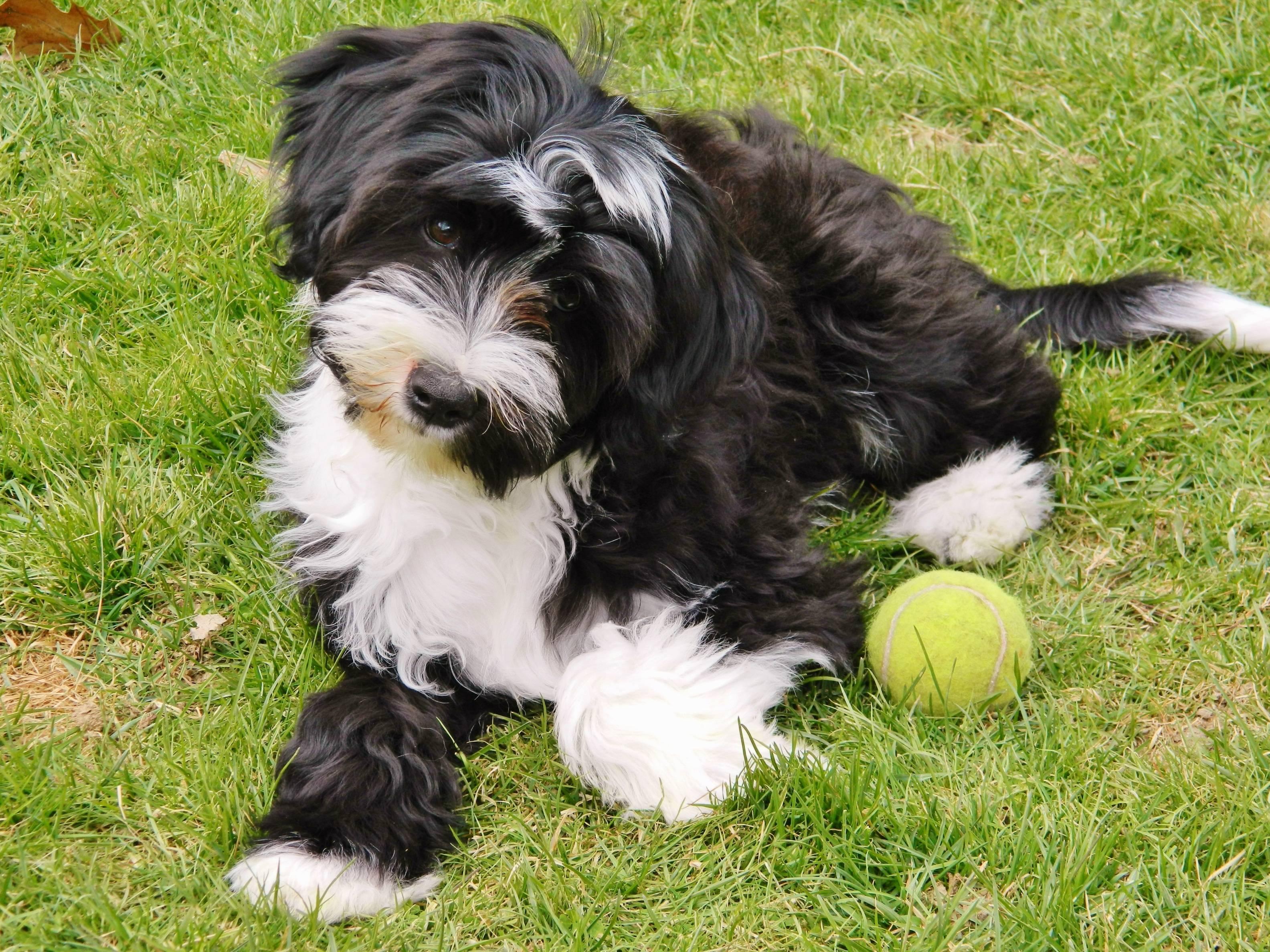 Русский той-терьер: все о собаке, фото, описание породы, характер, цена