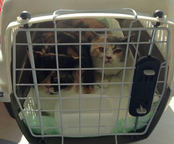 Котик-самолётик: как перевозить кошку в самолёте
