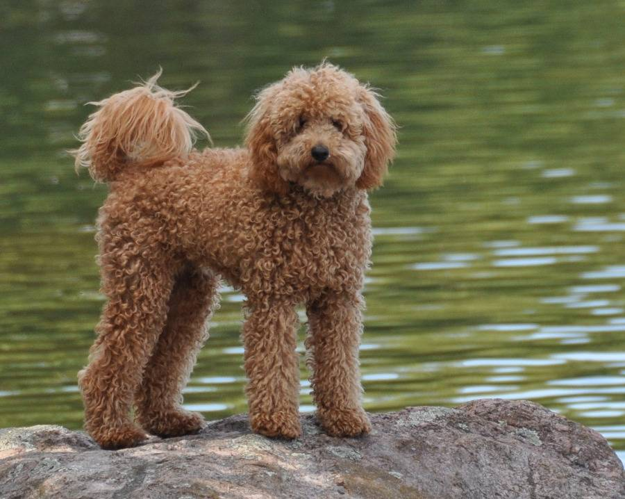 Лабрадудль: фото, цена, собаки, щенка, отличия