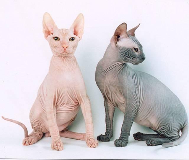 Особенности характера и описание кошек породы канадский сфинкс, уход за ними