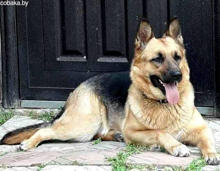 Вязка собак: что нужно знать заводчику