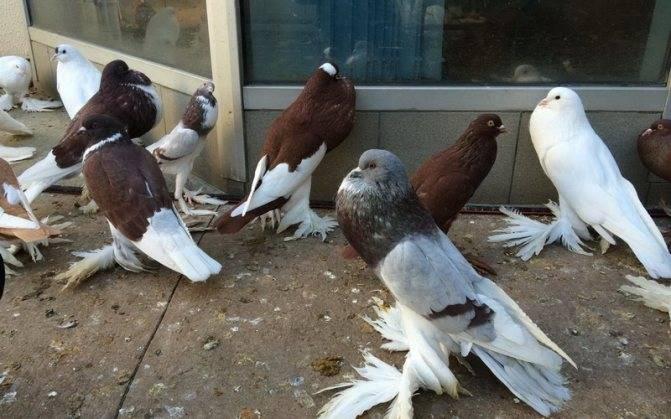 Топ-20 самых известных пород домашних голубей: мясные, летно-гонные, спортивные и самые красивые декоративные