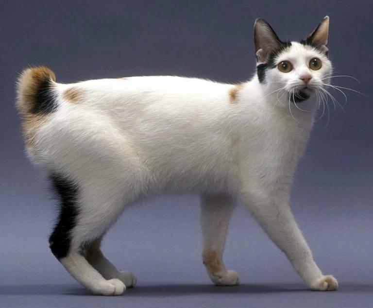 Японский бобтейл: характеристика породы кошки, уход, цены