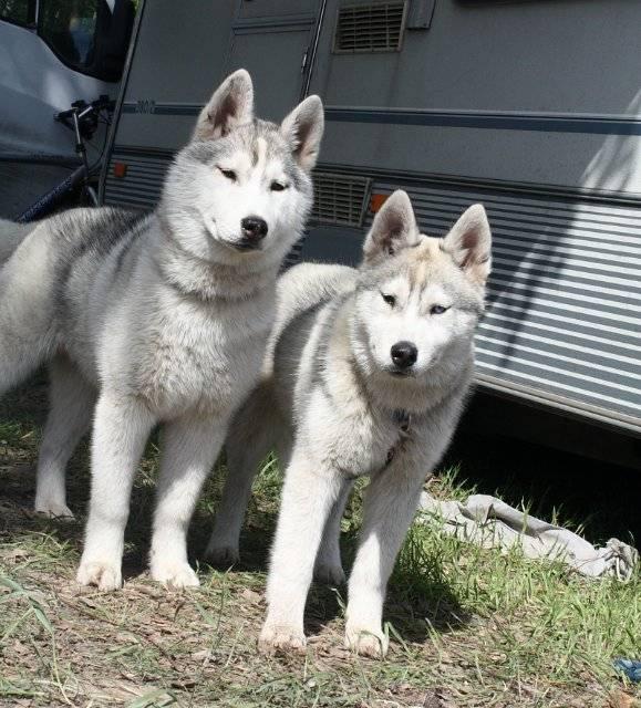 Якутская лайка собака. описание, особенности, уход и цена породы | животный мир
