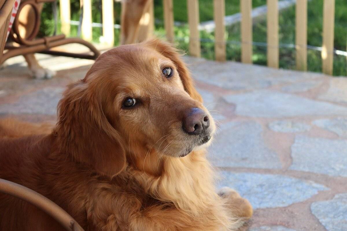 33 гипоаллергенные собаки для тех, кто не может жить без питомца - лайфхакер