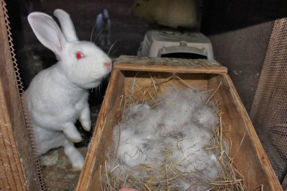 Почему самка кролика может не подпускать производителя в случной период