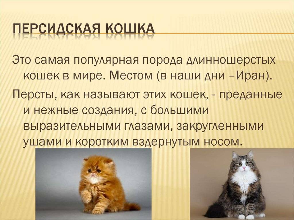 6 разновидности персидской кошки