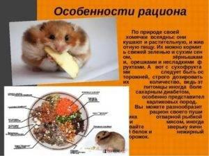 Чем кормить сирийского хомяка в домашних условиях