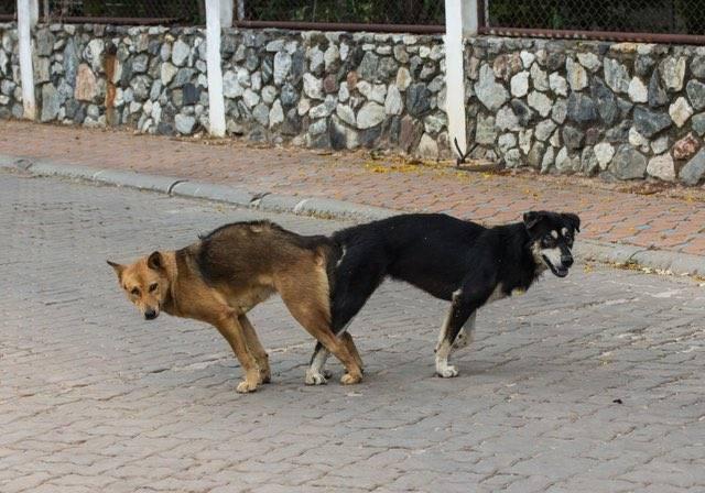 Почему собаки не встают в замок. почему собаки слипаются во время спаривания