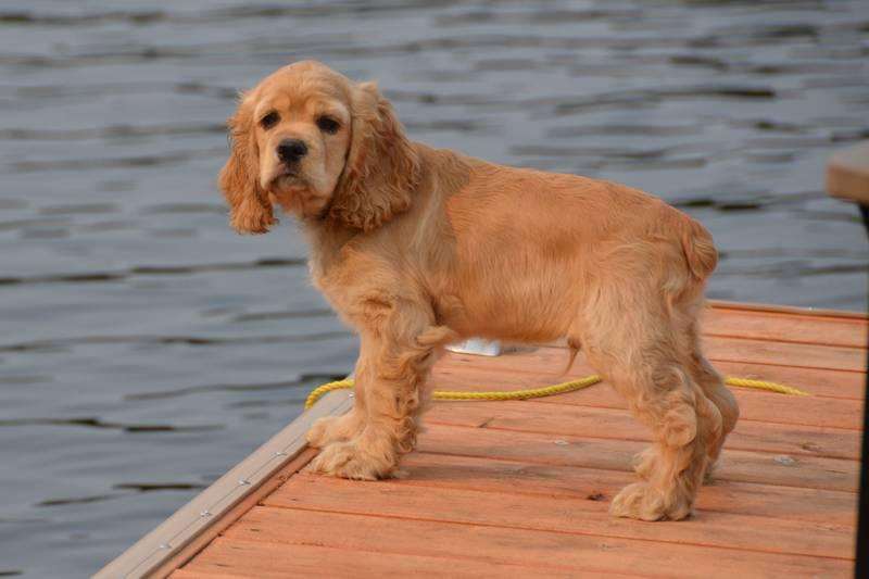 Порода собак американский кокер-спаниель — мастер обольщения