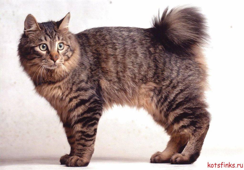 Домашние кошки, похожие на рысь: названия и описания пород