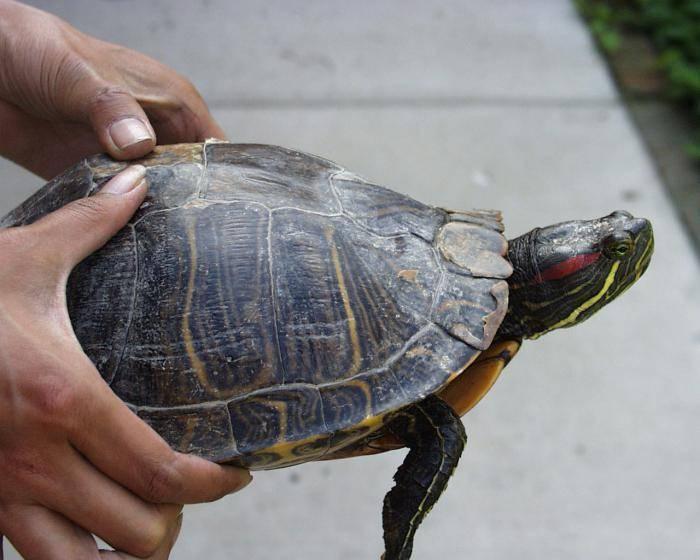 Сколько красноухая черепаха может находиться без воды, как долго она проживет на суше