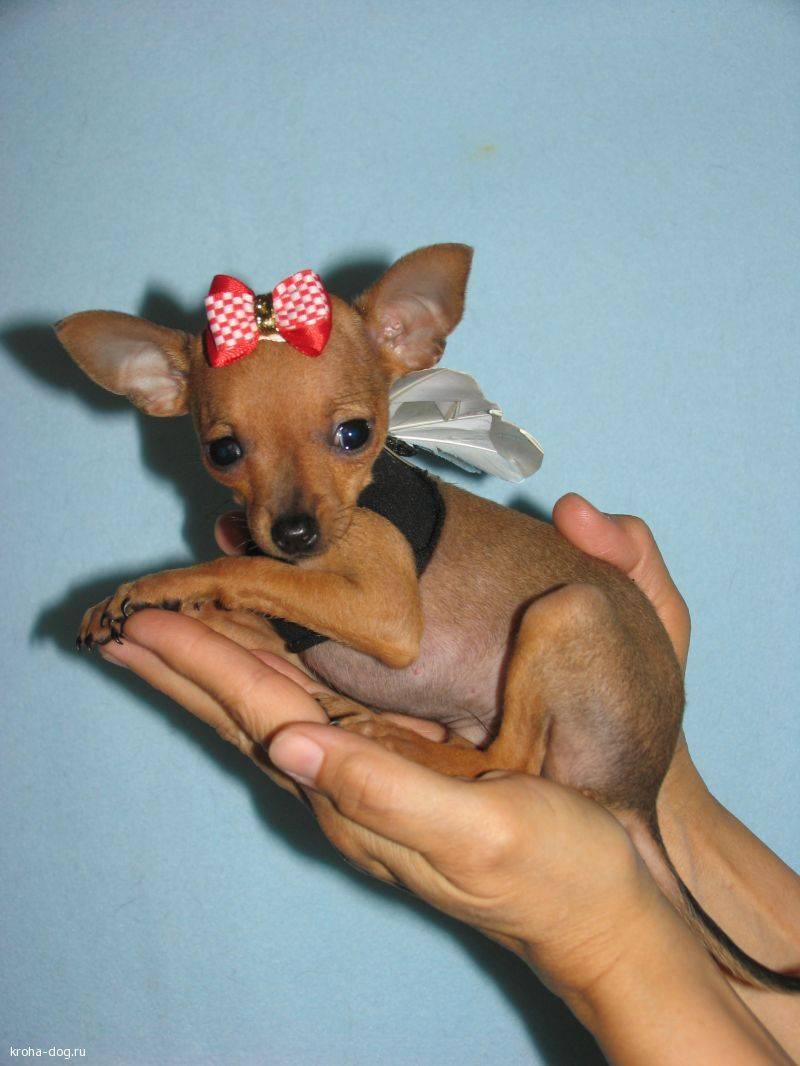 Маленькие той-терьеры. описание, фото и характеристики собачек мини и других