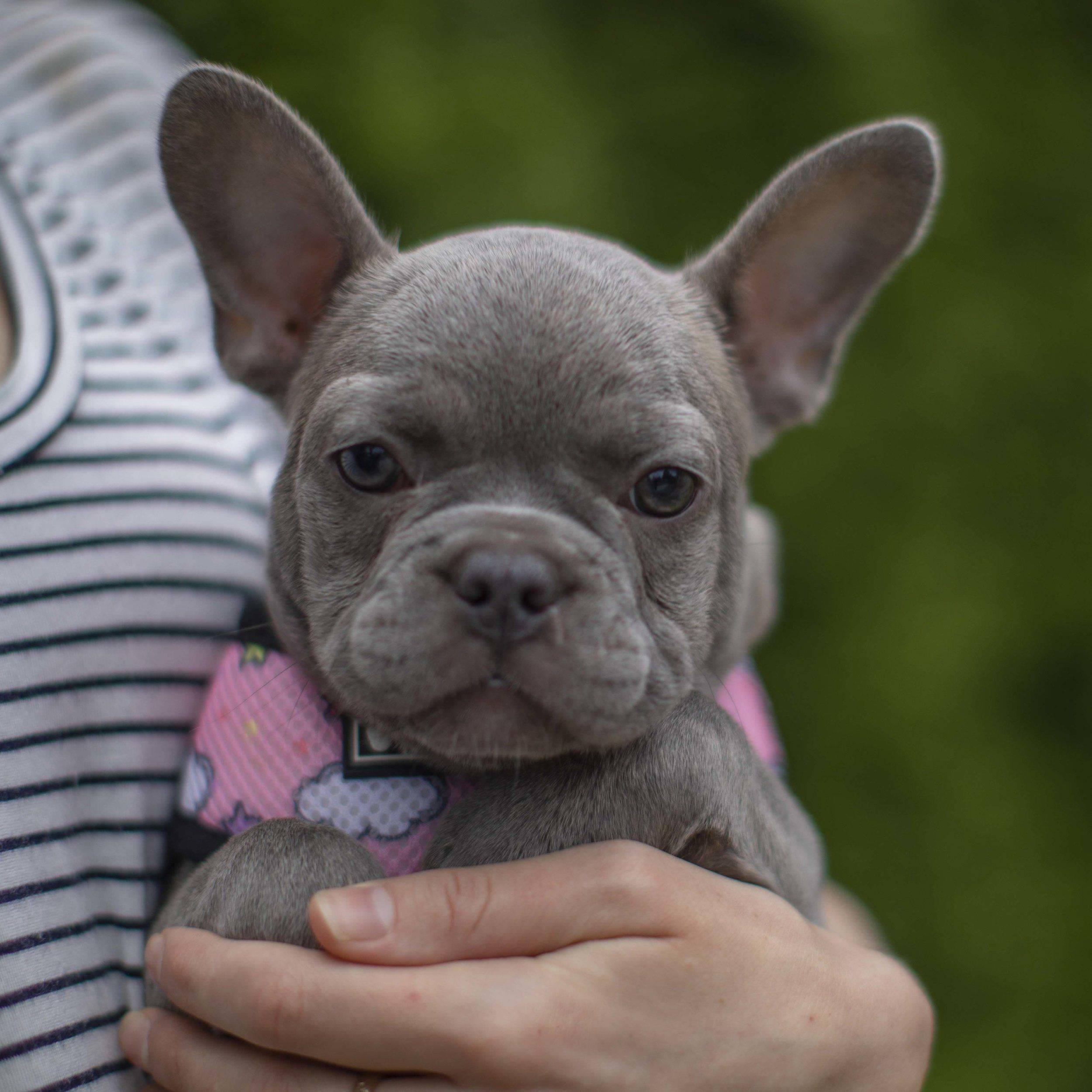 Клички для французских бульдогов мальчиков и девочек: как назвать собаку и как правильно выбрать имя для домашнего любимца