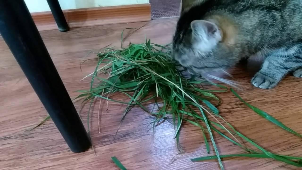Шерсть в желудке у кошки