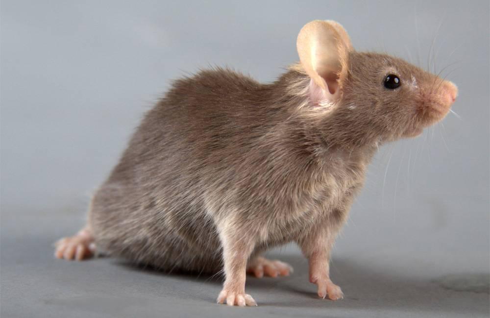 Как выглядит мышь — описание внешнего вида и размеров