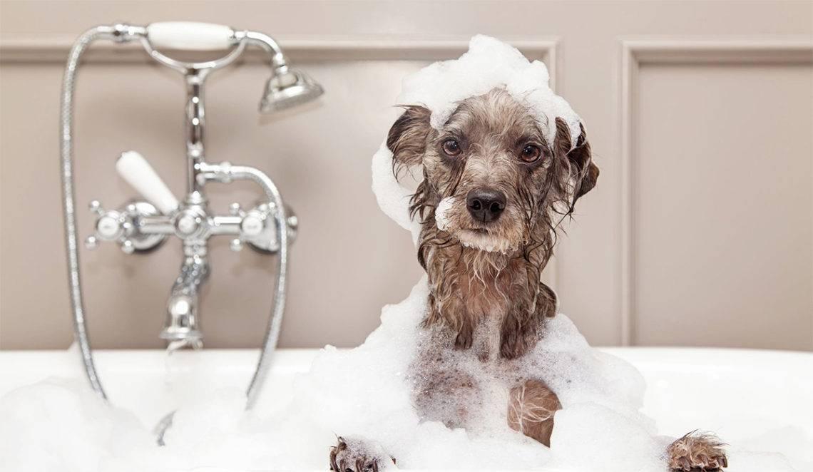 Как часто можно мыть собаку | как часто нужно купать, шампунем