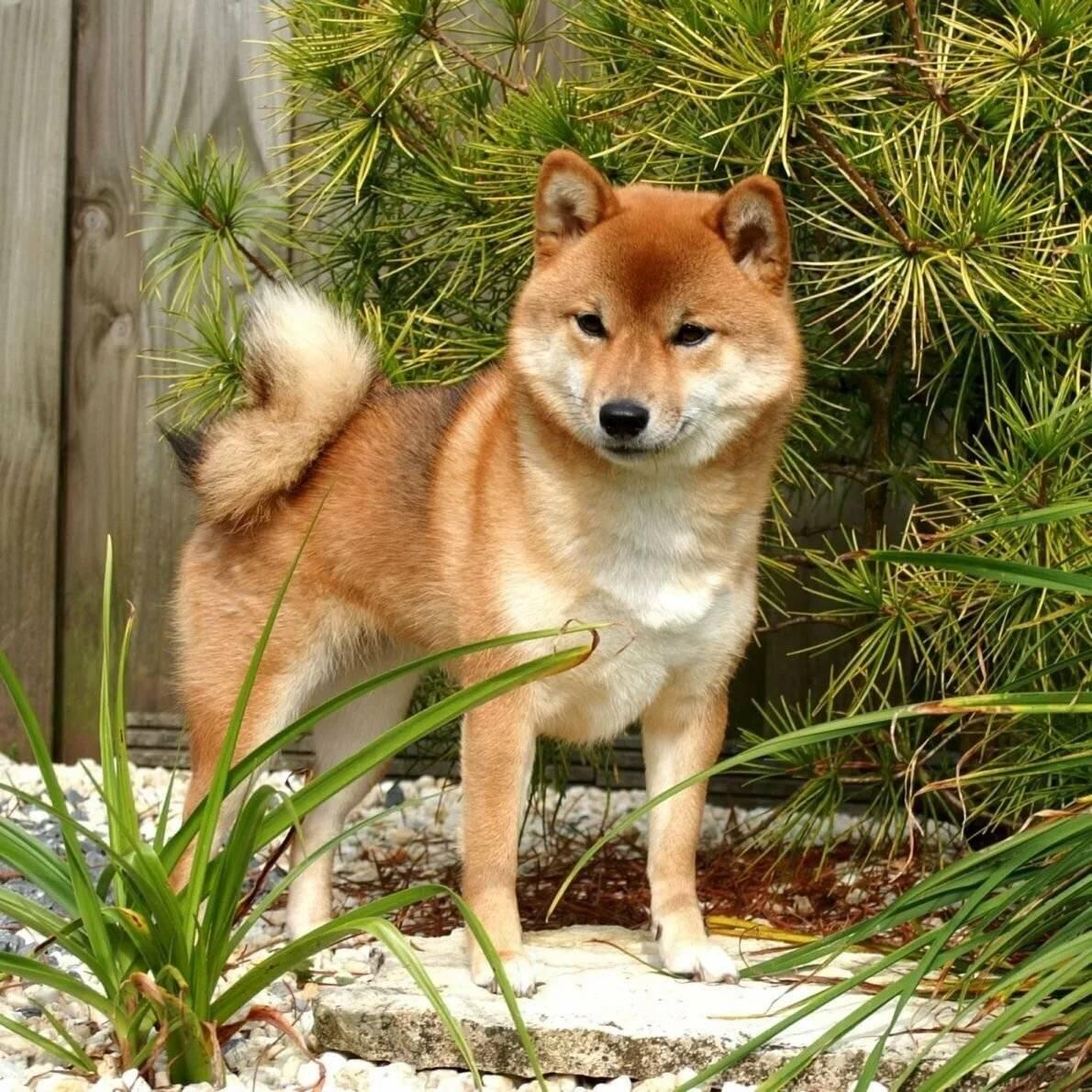 Сиба ину: полный обзор породы собак с фото и видео