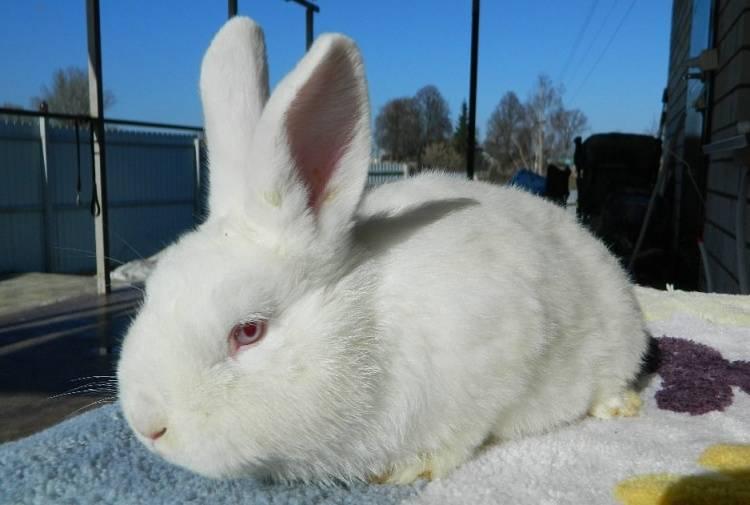 Новозеландские кролики (белые и красные) - описание породы, отзывы, фото