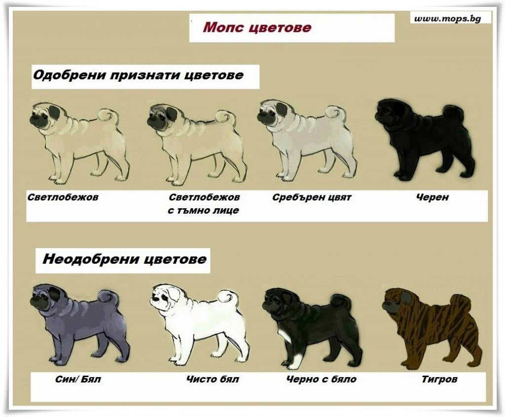 Черный мопс: как выглядит щенок, особенности расцветки