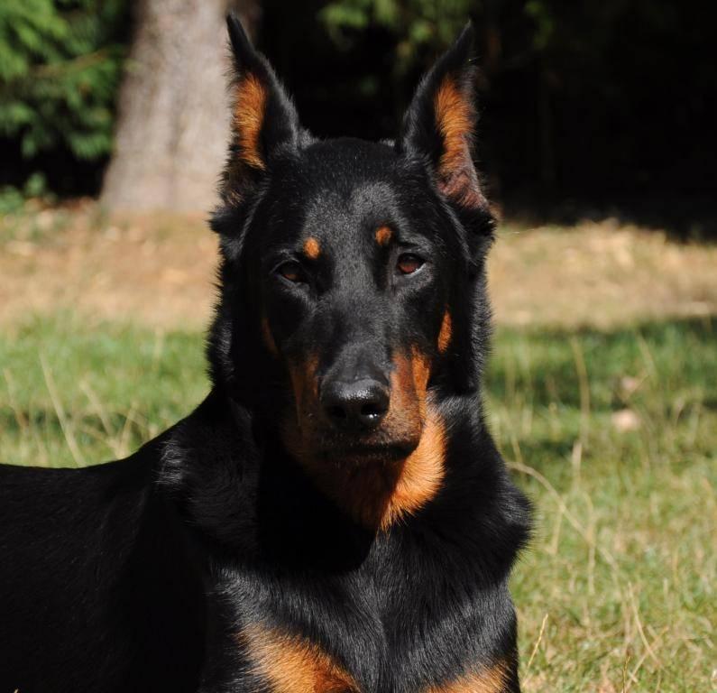 Помощник, пастух и верный друг — собака породы босерон