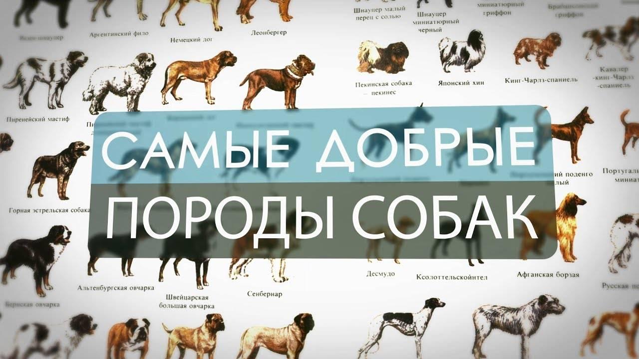 Самые умные и преданные породы собак в мире 2020