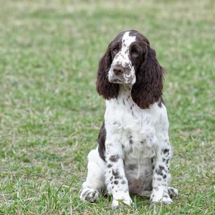 Характеристика собак породы английский спрингер спаниель с отзывами и фото