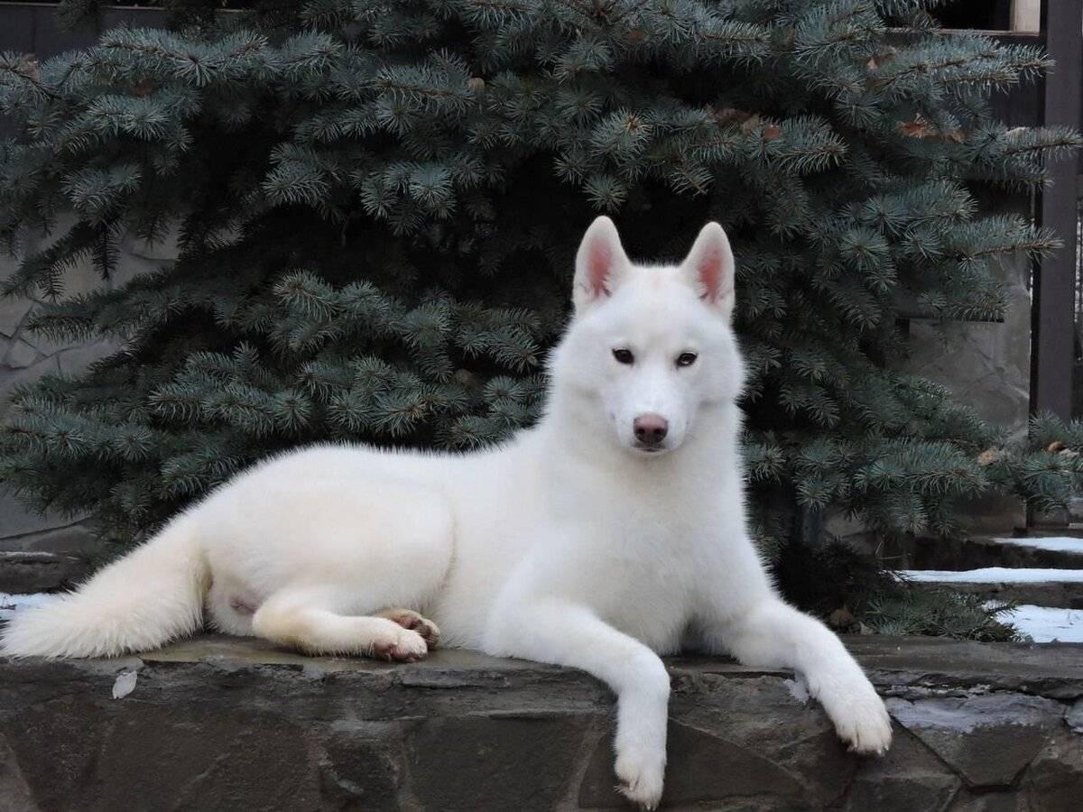 Белые большие породы собак с названиями и фото