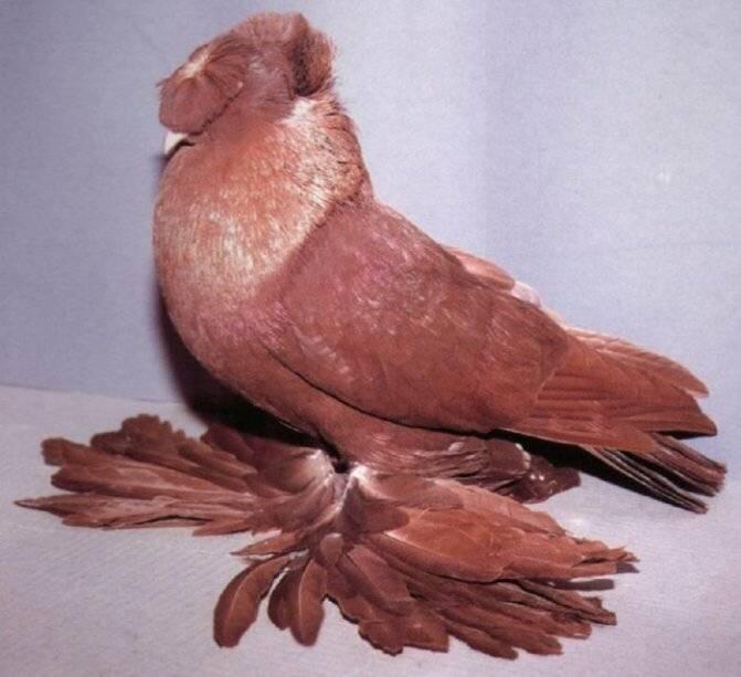 Топ-10 декоративных голубей