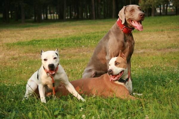 Как ухаживать за щенком питбуля - wikihow