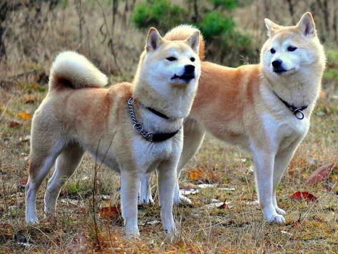 Кто такие акита-ину? описание и особенности породы собак