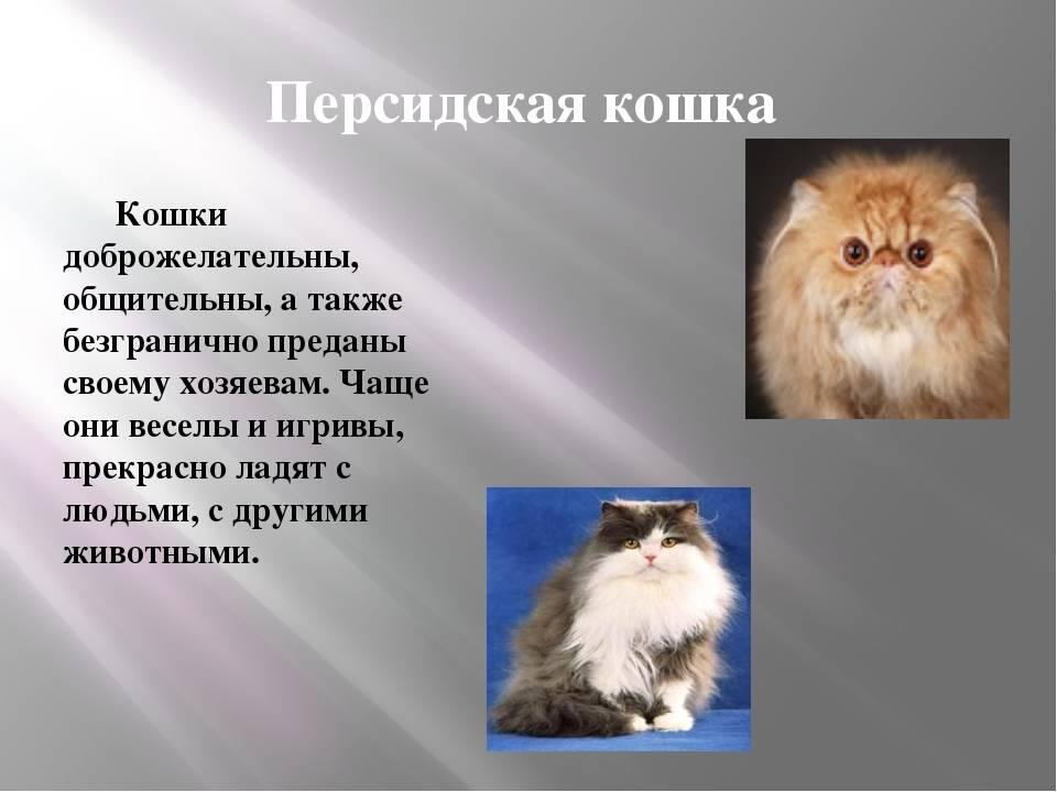 Сколько живут коты персидской породы