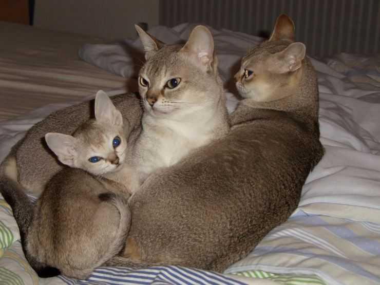 Сингапурская кошка – пугливое дитя сточных канав