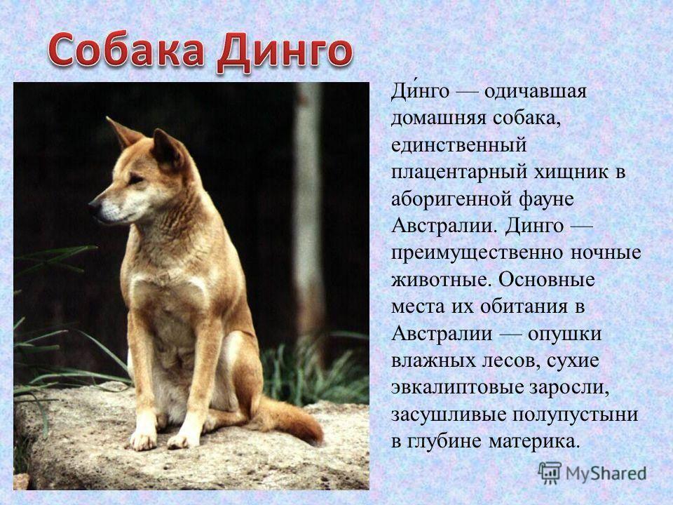 Динго (австралийская дикая собака): описание вида с фото и видео