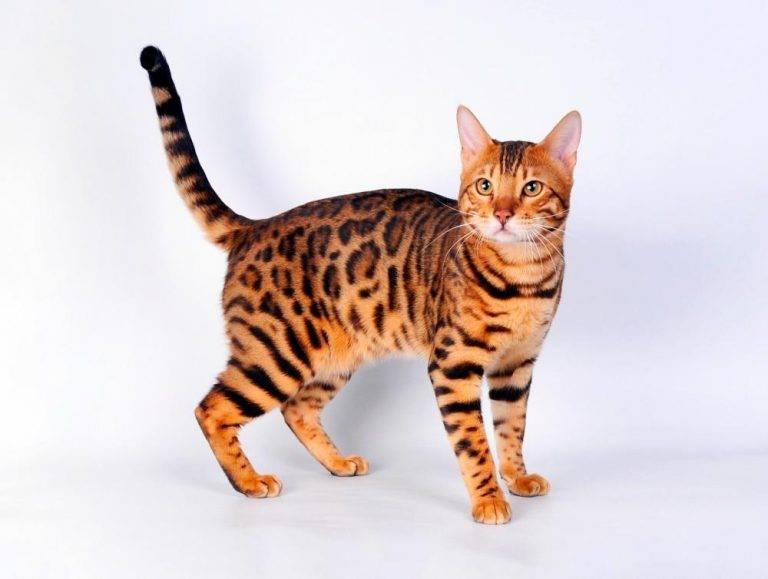 Серенгети - описание породы и характер кошки