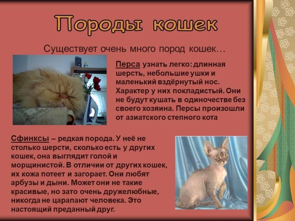 Невская маскарадная кошка (фото): оригинальная длинношерстная красавица - kot-pes