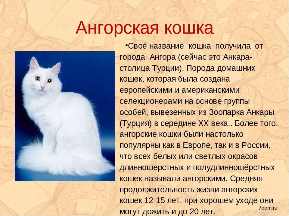 Турецкая ангора: описание породы, характер кошки, фото, котята