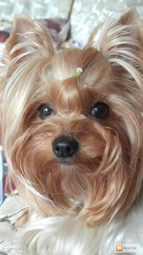 Особенности йоркширского терьера типа беби фейс: описание, характер, уход и питание + фото взрослых собак и щенков