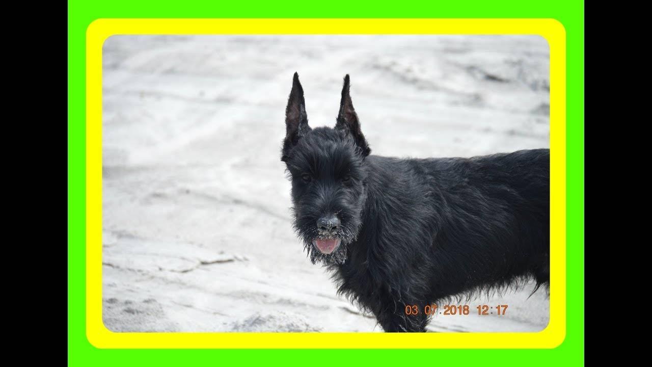 Ризеншнауцер (собака): характеристика породы