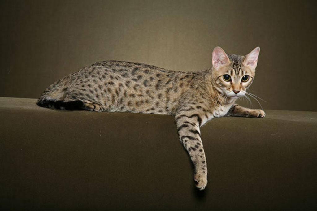 Азиатская леопардовая кошка: подробное описание с фото и видео