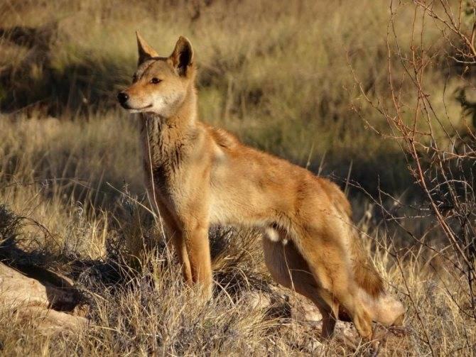 Динго – собака австралии, которая одичала. описание и фото собаки динго. динго: собака, покорившая австралию дикая собака динго где обитает